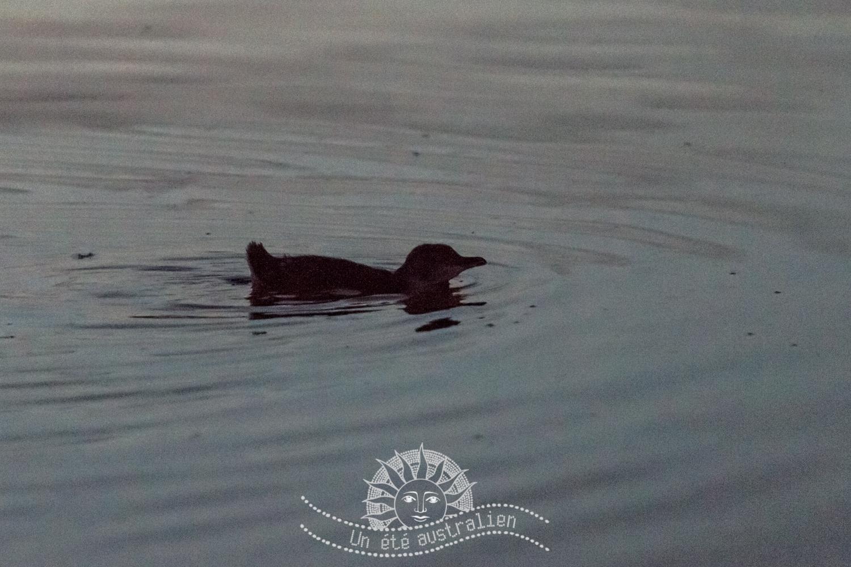 un été australien australie voyage melbourne victoria saint kilda manchot oiseau