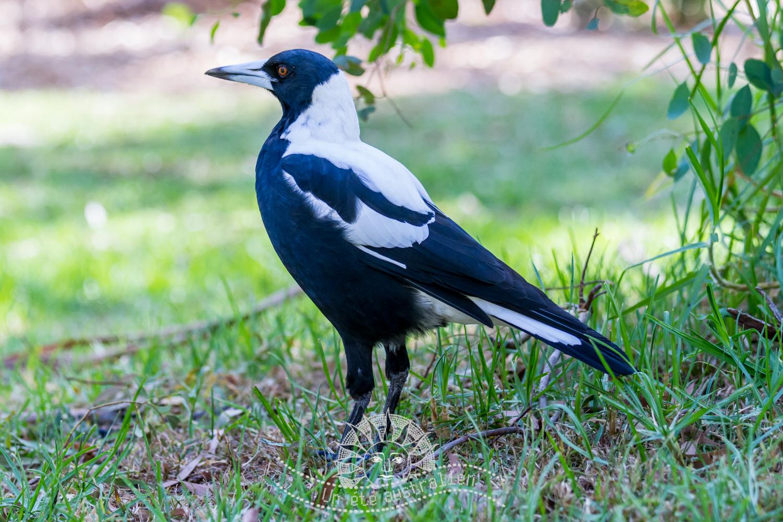 un été australien australie voyage melbourne victoria animal animaux corneille oiseau
