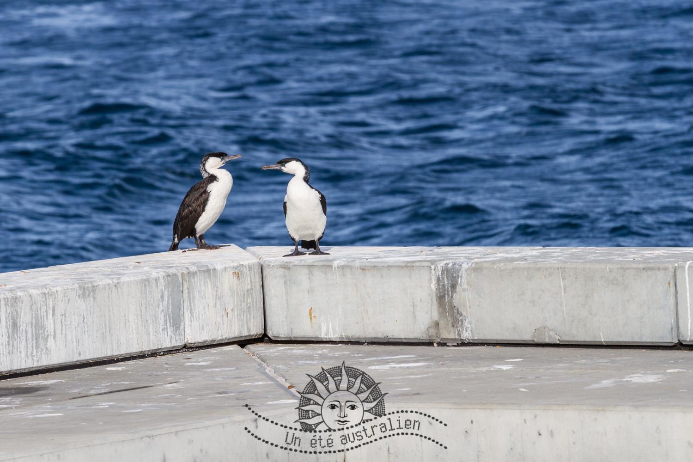oiseaux sur Maria Island en Tasmanie