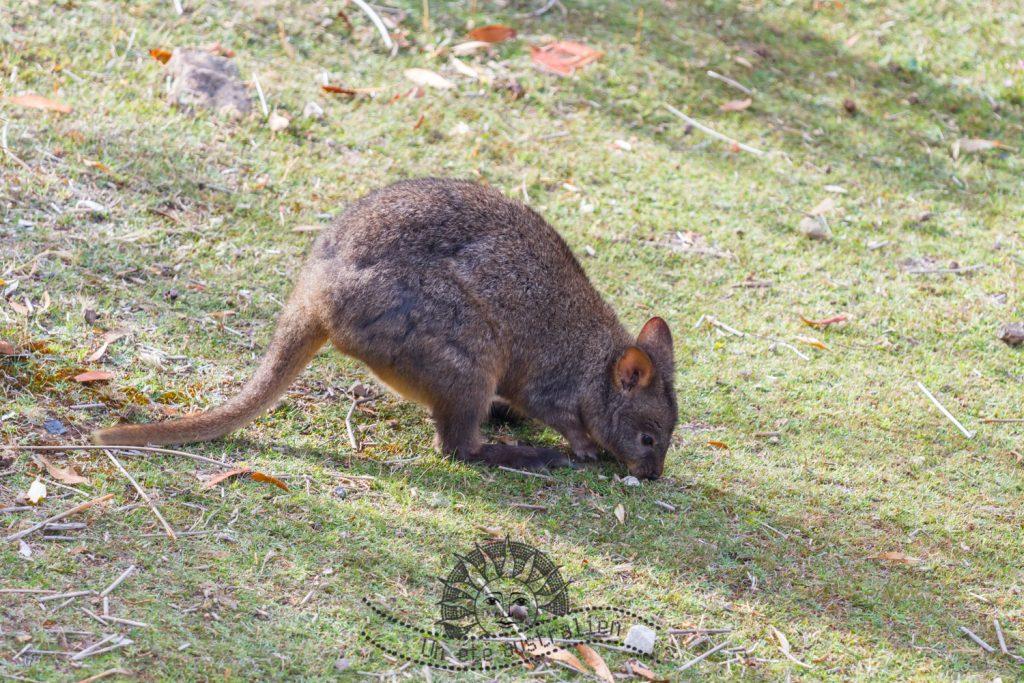 Pademelon sur Maria Island en Tasmanie