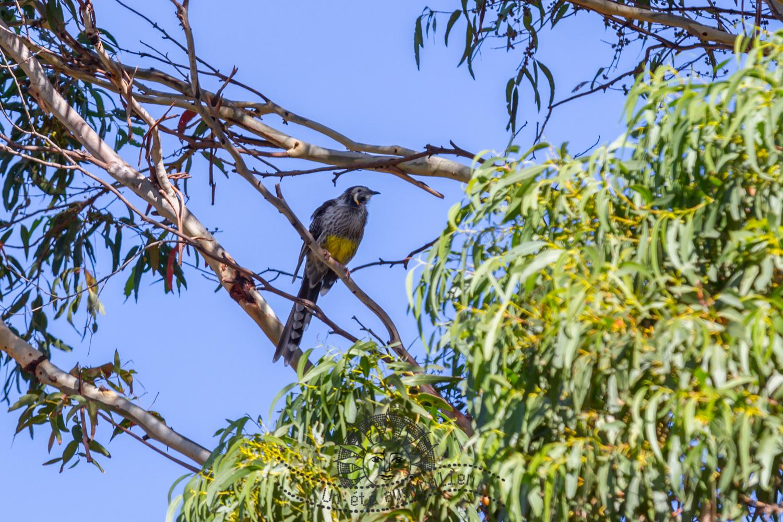 oiseau sur Maria Island en Tasmanie