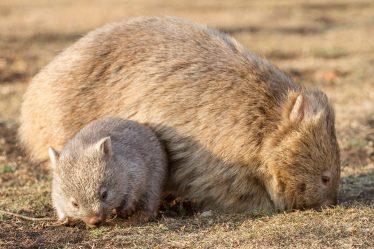 wombat sur Maria Island en Tasmanie